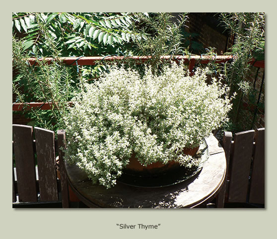 """Silver Thyme"""