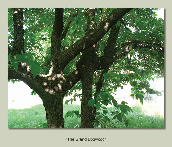 """The Grand Dogwood"""