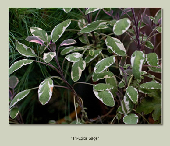 """Tricolor Sage: Ready to Harvest (#2)"""