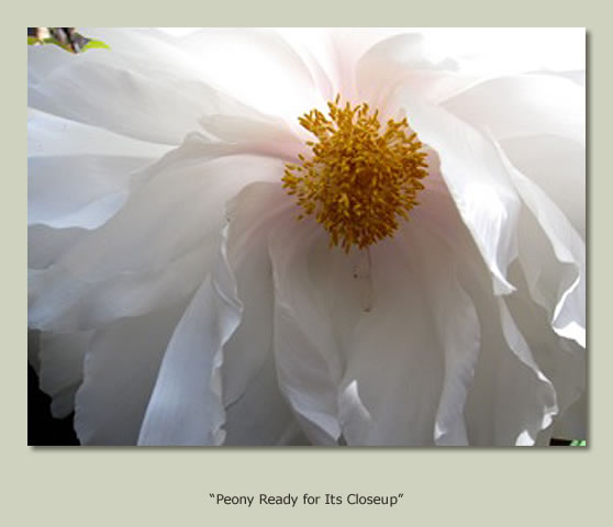 """Peony Ready for Its Closeup"""