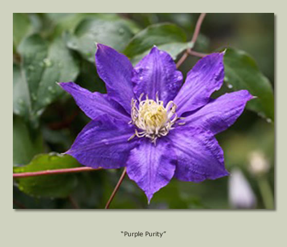 """Purple Purity"""