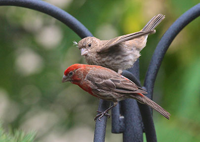 """House Finch Haemorhous mexicanus"""