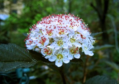 """Coppertina Flower Physocarpus opulifolius 'Mindia' COPPERTINA"""